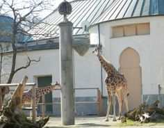 Hellabrun Zoo In Thalkirchen Munich The Giraffes Now Have A New